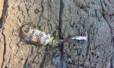 ついにエギングでアオリイカが釣れた (1)