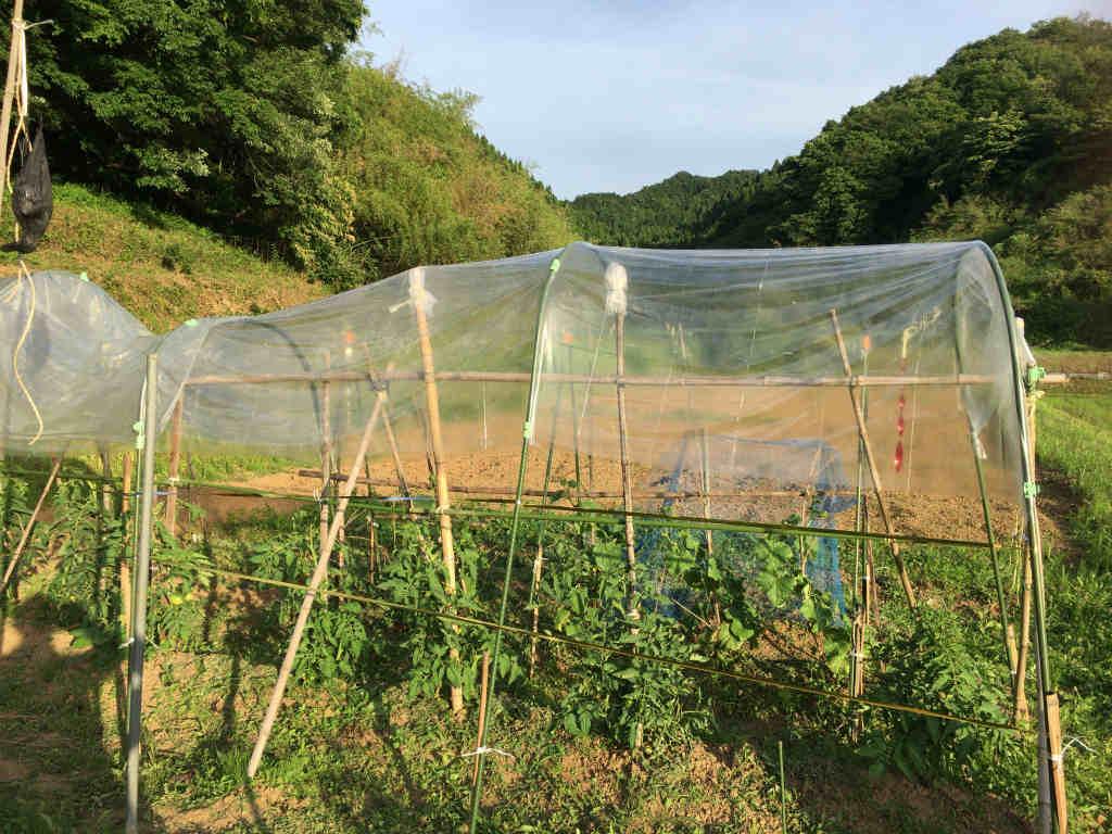 トマトの雨除け2