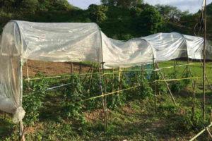 トマトの雨除け3