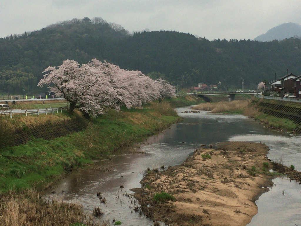 川沿いの桜がきれい